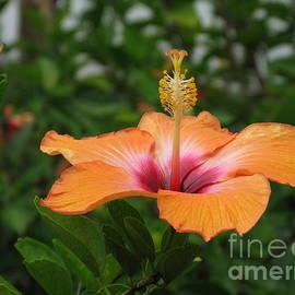 Ausra Paulauskaite - Orange Hibiscus Blossom