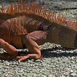 Liane Wright - Orange Iguana