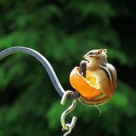 MTBobbins Photography - Orange Loving Chipmunk