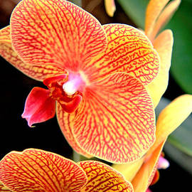 Lali Kacharava - Orange orchid