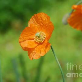 DejaVu Designs - Orange Poppies
