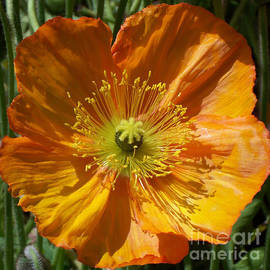 Geraldine Cote - Orange Poppy