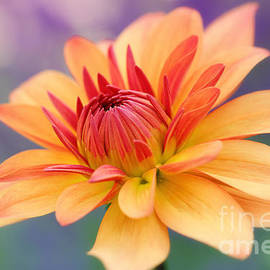 LHJB Photography - Orange red yellow colored dahlia