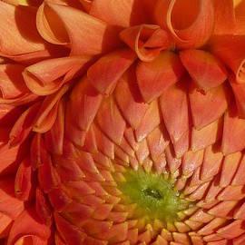 Susan Garren - Orange Sherbet Delight Dahlia
