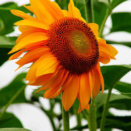Denyse Duhaime - Orange Sunflower Standing Tall