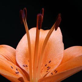 Judy Whitton - Orange Tiger Lily