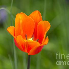 Rebecca Brooks - Orange Tulip