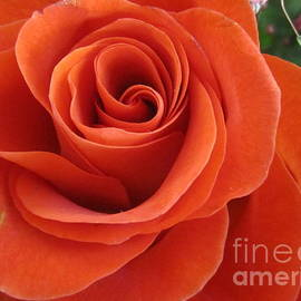 Tara  Shalton - Orange Twist Rose 2