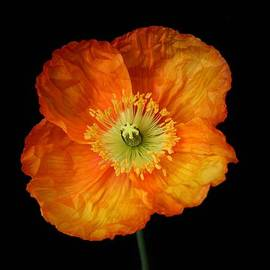 Carol Welsh - Orange Yellow Poppy