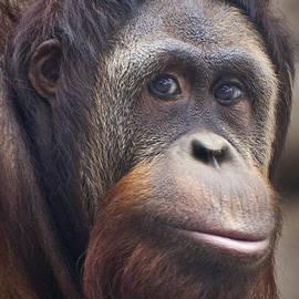 Amy Jackson - Orangutan