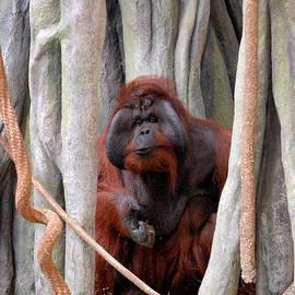 Glenn Morimoto - Orangutan