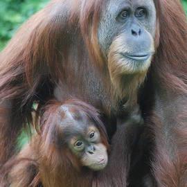 DejaVu Designs - Orangutan with Baby