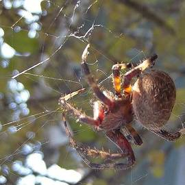 Rory Cubel - Orb Spider Repairing Web
