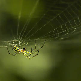 Francis Sullivan - Orchard Spider On Billy Goat Trail