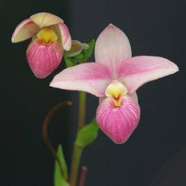 Sheila Byers - Orchid 22