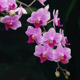 Sheila Byers - Orchid 5