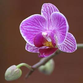 Rumyana Whitcher - Orchid Beauty
