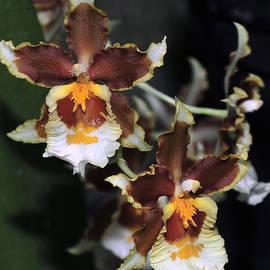 Terri Winkler - Orchid Brown Yellow White Macro