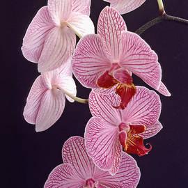 Bill Morgenstern - Orchid Cascade