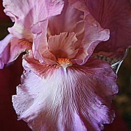Kay Novy - Orchid Colored Iris