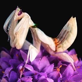 Leslie Crotty - Orchid Female Mantis  hymenopus coronatus  7 of 10
