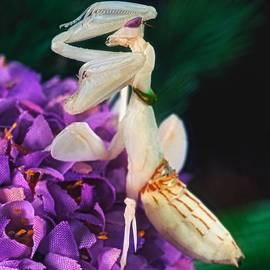 Leslie Crotty - Orchid Female Mantis  hymenopus coronatus  9 of 10