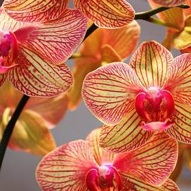 Judy Palkimas - Orchid