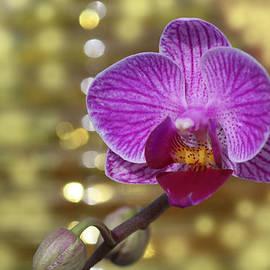 Rumyana Whitcher - Orchid Magic