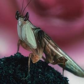 Leslie Crotty - Orchid Male Mantis  hymenop  Portrait  #7 of 9