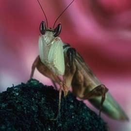 Leslie Crotty - Orchid Male Mantis  hymenopus coronatus  Portrait  2 of 9