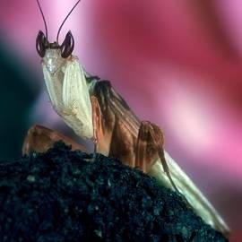 Leslie Crotty - Orchid Male Mantis  hymenopus coronatus  Portrait #4 of 9