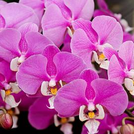 Mike Savad - Orchid -  Phalaenopsis - Tickled pink