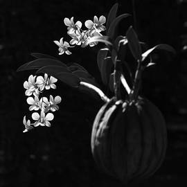 Roland Krawulsky - Orchid