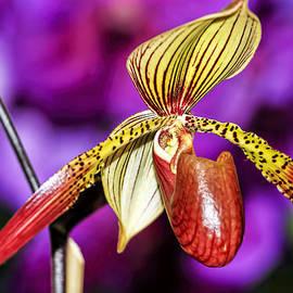 Geraldine Scull   - Orchid Series 8