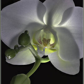 Kevin Woodbury - Orchid with Buds