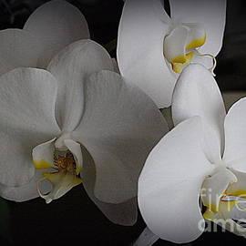 Photographic Art and Design by Dora Sofia Caputo - Orchids Beautiful in White