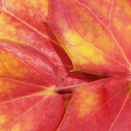 Phil Rispin - Oregon Grape or Mahonia aquifolium