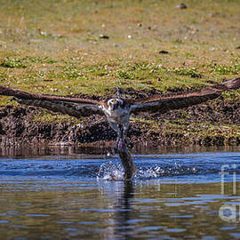 Mitch Shindelbower - Osprey And Trout