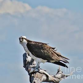 John Groeneveld - Osprey At Lunch