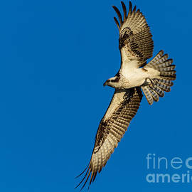 Dawna  Moore Photography - Osprey in Flight Amelia Island Florida