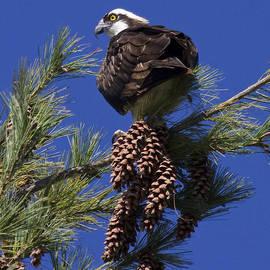 Eric Mace - Osprey on Pine