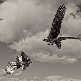 Wes and Dotty Weber - Osprey Surprise Attack D9791