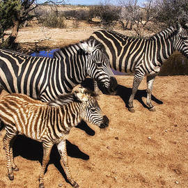 Priscilla Burgers - Out of Africa Zebra Family