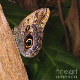 Ann Horn - Owl Butterfly