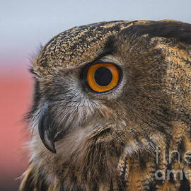 Mitch Shindelbower - Owl Eye