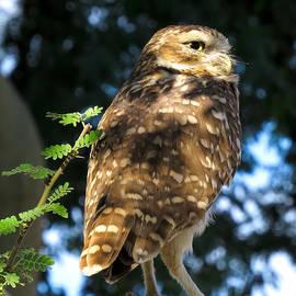 Ed  Cheremet - Owl in a Tree