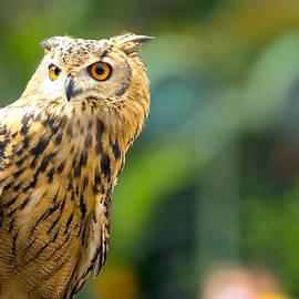 Jijo George - Owl