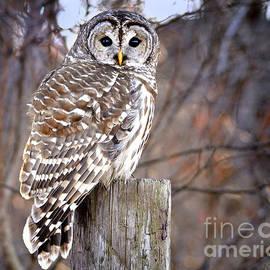 Nava  Thompson - Owl on Fence Post