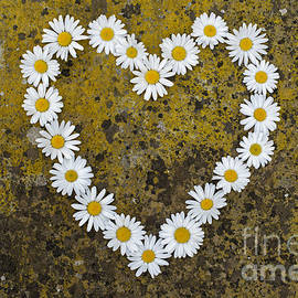 Tim Gainey - Oxeye Daisy Heart