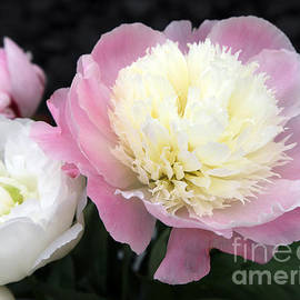 Ros Drinkwater - Paeonia Touch of Class